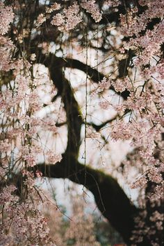 https://flic.kr/p/EMZMnA | all things blooming, part four | It's quite stormy and cool today, which makes me happy, even though it may be a wet visit to the cherry trees. I'm dreading another hot summer in Portland, so I'll take the rain and cool for as long as I can get it.   Image made with my Nikon F100.
