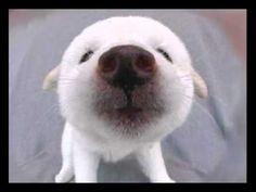 yup! its my birthday! Funny Birthday Song (Puff the Furball Puppy)