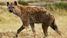 Las hienas pertenecen al suborden de los Feliformia, siendo animales carnívoros que se dividen en cuatro especies distintas (parda, hiena rayada, hiena manchada y lobo de tierra) y con características físicas muy peculiares. A continuación, conoceremos con más detalles las características y comportamientos de este interesante animal. Alimentación de las hienas En realidad, las hienas son animales oportunistas, es decir, se alimentan de la carroña y restos que dejan otros grandes depredadores…