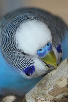 Wellensittich - cocorita - papagallino - budgie