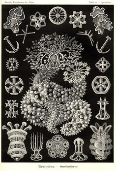 Items similar to Ernst Haeckel Print Home Decor Vintage Natural History Art Print: Wall Scientific Illustration Art Print on Etsy Art And Illustration, Botanical Illustration, Psychedelic Design, Ernst Haeckel Art, Natural Form Art, Sea Life Art, Ocean Life, In Natura, White Wall Art