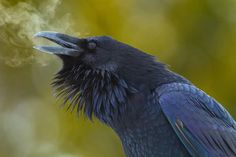 A Raven with icey breath.