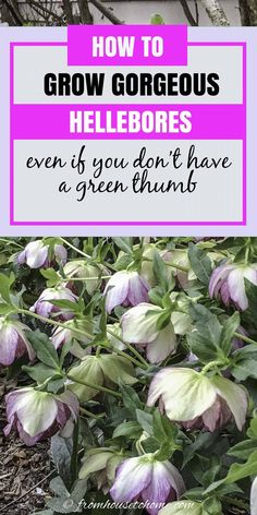 These tips for growing Hellebores are the BEST! I need some ground cover plants for my shade garden in the front yard and these low maintenance shade perennials will be perfect. | Shade Perennials Partial Shade Perennials, Shade Flowers Perennial, Shade Plants, Flowers Perennials, Lenten Rose, Christmas Rose, Perennial Bushes, Garden Inspiration, Home Decor Inspiration