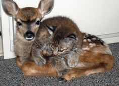 Sweet friends.( Actually, I think this is a Mule Deer Fawn and a baby Bobcat..look at the ears! and the feet..not a domestic cat.)