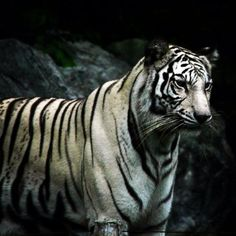 The Chiang Mai Zoo, Ban Huai Kaeo, Thailand — by RebeccasRoutes Thailand Tiger, Boat Tours, Chiang Mai, Travel Around, Cool Places To Visit, Adventure, Animals, Animales, Animaux