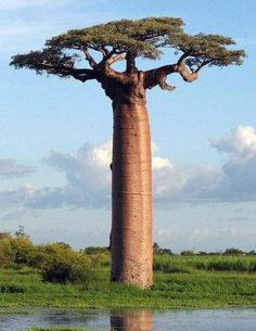 Baobab trees store up to 32,000 gallons in their swollen trunks to survive the sometimes harsh drought conditions in which they must survive.