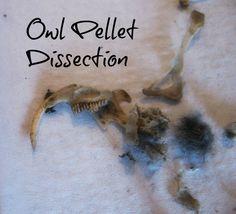 Owl Pellet Dissection