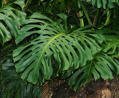 Monstera deliciosais aspeciesofflowering plantnativeto tropicalrainforestsof southern Mexico, south to Colombia.It has been introduced to many tropical areas, and has become a mildly invas…