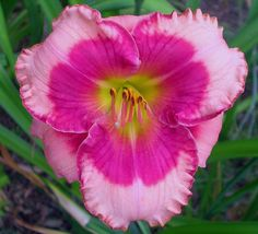 Little Red Dragon Daylily