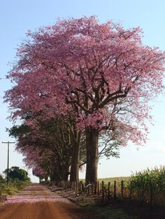 Beautiful World, Beautiful Gardens, Beautiful Places, Unique Trees, Colorful Trees, Nature Tree, Flowering Trees, Amazing Flowers, Farm Life