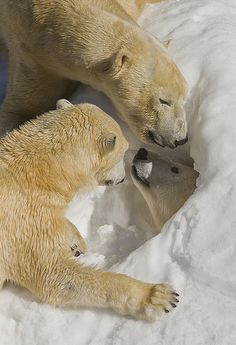 Polar bear snow day | Flickr - Photo Sharing!