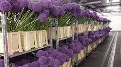 #Allium #Giganthemum; Availalbe at www.barendsen.nl