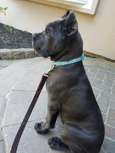 Pridenjoyz Cane Corso Bring the Heat aka Bodhi.  Health tested with great temperaments.