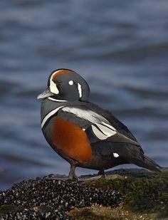 Beautiful Harlequin Ducks