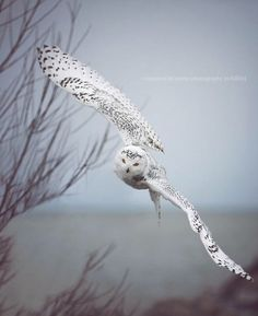 snowy owl in flight --snowies and barn owls have to be my favorite owls ever