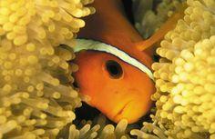 Four Seasons Resort Maldives at Landaa Giraavaru partnered with Seamarc to help save ornamental fish in the Maldives.