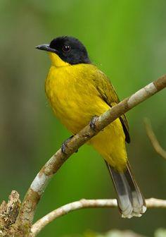Black-capped Bulbul - endemic to the island of Sri Lanka