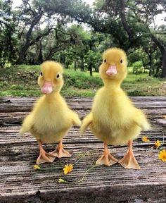 Cute pair of adorable little ducklings Cute pair of adorable little ducklings Cute Little Animals, Cute Funny Animals, Cute Dogs, Cute Babies, Baby Animals Pictures, Cute Animal Pictures, Animals And Pets, Duck Pictures, Baby Farm Animals