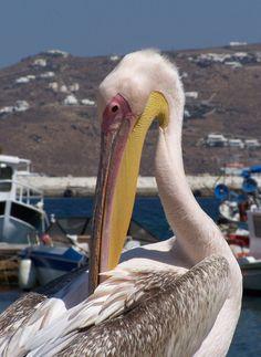 Petros, el pelícano de Mykonos