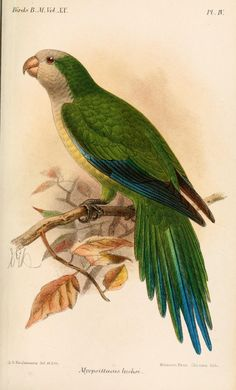 Monk Parakeet (Myiopsitta luchsi) - Catalogue of the Birds in the British Museum