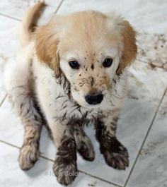 Golden Retrievers are best friends of people.#GoldenRetrievers #dogs