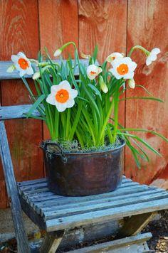 Daffodils in rustic pot