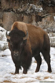 Bisons..Tthey're so fluffy I'm gonna die!!! Haha