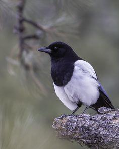 Black billed Magpie by Linda Krueger on 500px