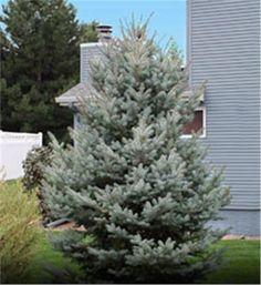 Colorado Blue Spruce - Picea pungens