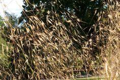 4 GRAMINÉES HAUTES magnifiques au jardin ! 🌾 Miscanthus Sinensis Gracillimus, Plantation, Wood, Spa, Gardens, Perennial Plant, Shrub, Terraces, Plants