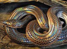 サンビームヘビ #秘密にしておきたかった生き物 のタグがスゴ過ぎる「このタグ全部神」「自然界恐るべし」 (2ページ目) - Togetterまとめ