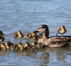 a 'raft' of ducks  _National Wildlife Federtion