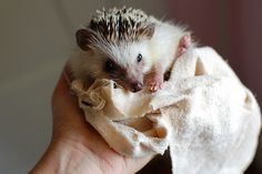 hedgehog drying off