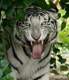 White tiger -- haha, spaz face!