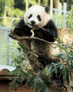 パンダのシャンシャン 幸せいっぱいフォトギャラリー