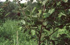 Enyves éger (Alnus glutinosa, Betulaceae) (Turcsányi Gábor felvétele) Plants, Plant, Planets