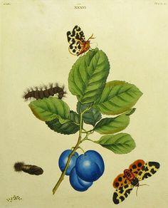 Benjamin Wilkes  The Great Tiger-Moth, the Hatfield Plum  1824