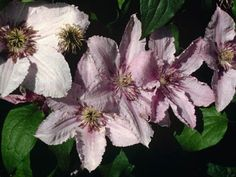 """CLEMATIS: Always called the """"""""Queen of Vines,"""""""" nothing else makes the spectacular show of a clematis in full bloom. In almost all zones, these magnificent plants decorate mailboxes, trellises and por"""