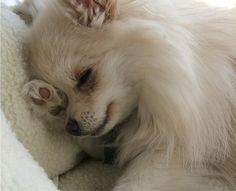 Pomeranians - How cute!