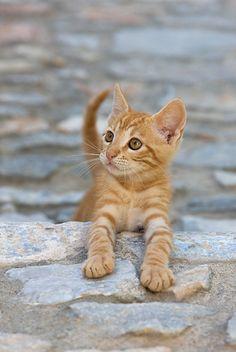 CAT 03 KH0195 01 © Kimball Stock Orange Tabby Greek Island Kitten Climbing Stone Steps