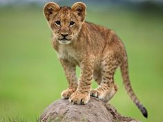 An African lion cub stands on a mound of soil in the Okavango Delta. Geographically isolated lion populations can lead to inbreeding and a lack of genetic diversity, further endangering the species.