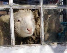 Home - Sweet Pea & Friends Sheep, Sunnies, Lamb, Goats, Sweet Home, Animals, Animales, Sunglasses, House Beautiful