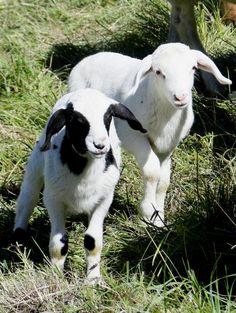 junge Lämmer am Kohlberg bei Mörnsheim Animals, Goats, Lamb, Tourism, Culture, Animales, Animaux, Animal, Animais