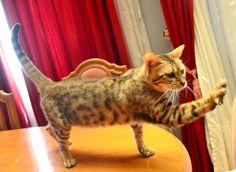 Ella es Fauna, Bengal Leopard Spotted, nacida el 2 de enero del 2014, hija de Candice y Wilson.