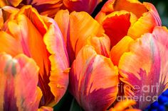 A Tulip Named Princess Irene - photograph by Sabine Edrissi. Fine art prints and posters for sale. #tulips #macrofloral #sabineedrissi