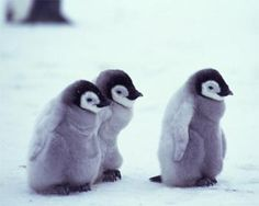 Sweet penguin babies!