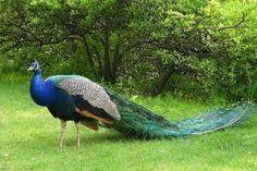 Bildergebnis für peacock