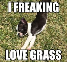 Boston Terriers usually do love grass. And yards.