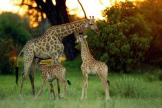Kenia safari.