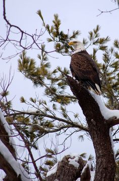 With more than 500 nesting pairs, Maine is home to 75 percent of the bald eagle population in New England and New York. Woodland Creatures, Woodland Animals, Beautiful Creatures, Animals Beautiful, Pride Of America, Lumberjacks, Bald Eagles, Beautiful Scenery, Birdhouses